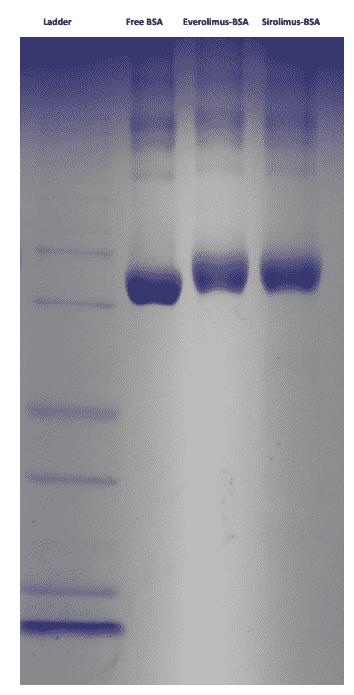 Sirolimus BSA Conjugate SDS-PAGE